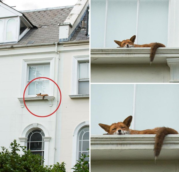 sleeping fox spotted by Rachel Johnson